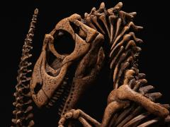 "Lourinhanosaurus antunesi Embryonic Skeleton ""Bony Bonnie"" 1/1 Scale Replica (LE 1000)"